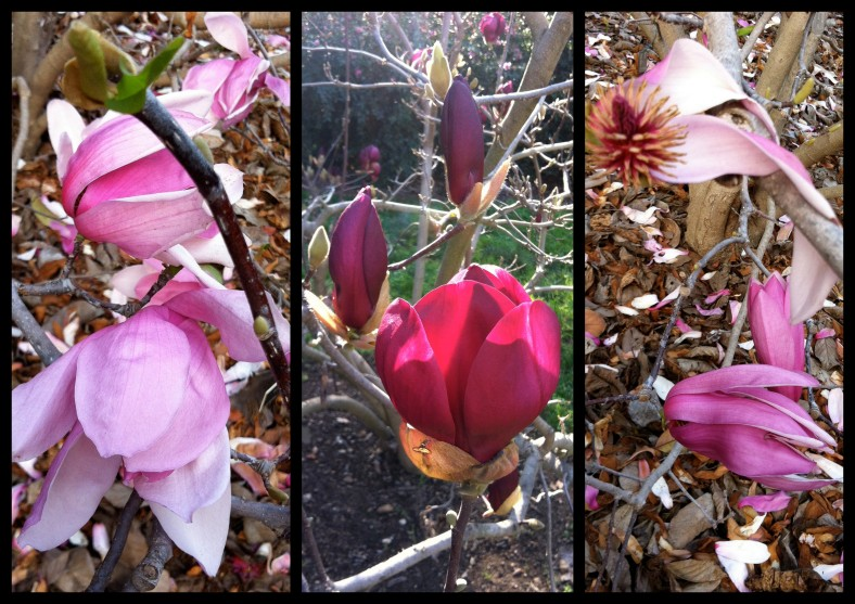 I love the sculptural quality of Magnolias, and the dark purple ones have the most delicious lemon verbena-y scent!